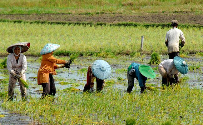 7 731 Ha Sawah Petani Klaim Asuransi Pertanian Mata Nurani